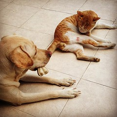 Always watching each other's back just like #soldiers do. #Laila the #Labrador #Dog #Majnu the #TomCat together after a year.