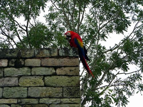 Bel pappagallo coloratissimo a Copan Ruinas
