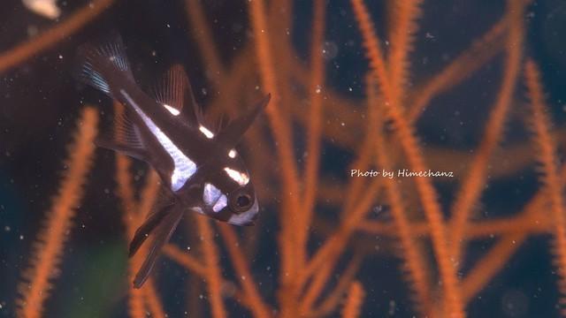 ホホスジタルミ幼魚、めちゃんこカワイイw