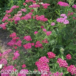 Üppige Schafgarbenblüte. #garten #natur #blumen #pink #sommer