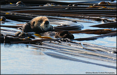 Mustelids-Otters and Mink