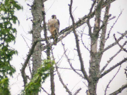 bird wildlife birding ornithology birdwatching oiseau faune peregrinefalcon fauconpèlerin ornithologie