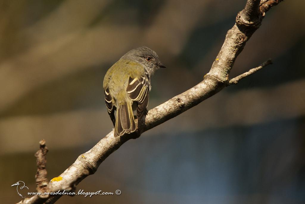 Fiofío ceniciento (Gray Elaenia) Myiopagis caniceps