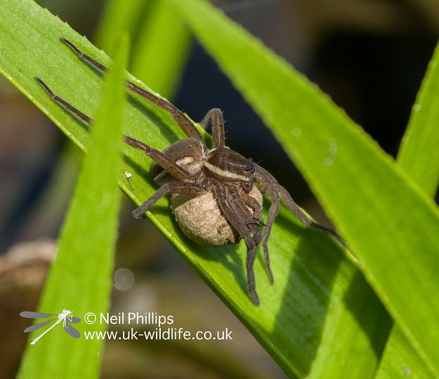 Fen raft spider female basking with egg cocoon