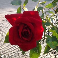 """""""O homem que não amou apaixonadamente, ignora a metade mais formosa da existência""""  * Sthendal #BlogAuroradeCinemaregistra #Paixão #Amor #rosa  #vermelho #insta_pensadores"""