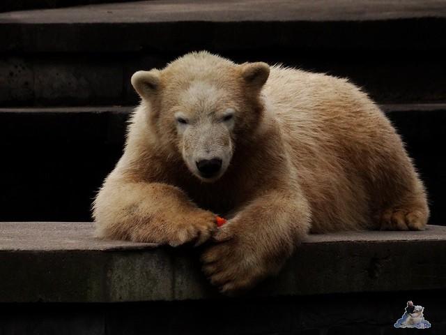 Eisbär Fiete im Zoo Rostock 19-09.2015 Teil 3  095