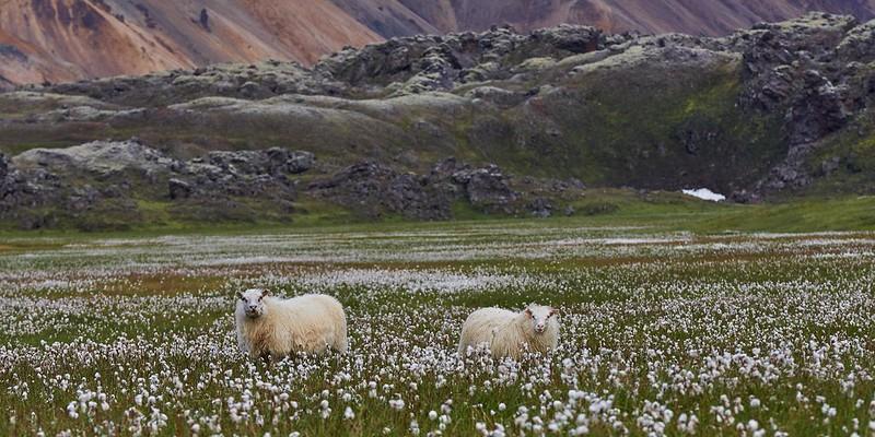 Icelandic sheep - Landmannalaugar