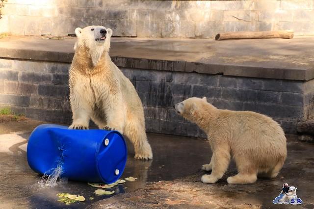 Eisbär Fiete im Zoo Rostock 26.09.2015   0247