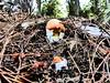 Ous de reig (Amanita caesarea)