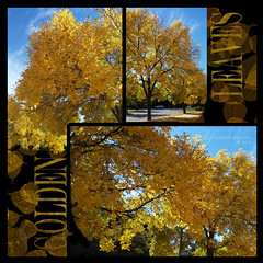 Golden Leaves in Colorado