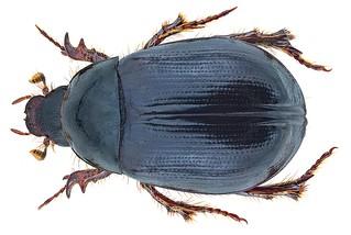 Hybosorus arator (Illiger, 1803)