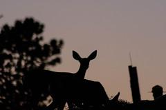 Sunset deer (with ranger)