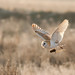 Backlit Barn owl with prey (1 of 1) by den9112