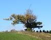 Lone tree on hilltop