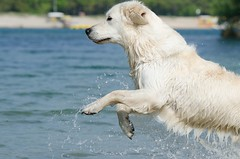 polar bear(0.0), animal(1.0), dog(1.0), maremma sheepdog(1.0), mammal(1.0), slovak cuvac(1.0), golden retriever(1.0),