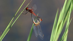 Red-veined Pennants, Aripeka Sandhills Preserve