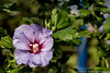 Hibiscus by Menne Hielkema