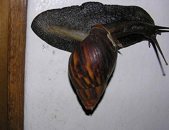 Achatina fulica