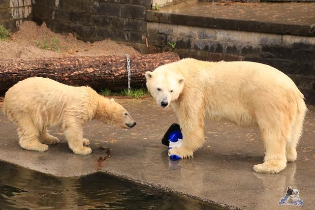Eisbär Fiete im Zoo Rostock 06.09.2015  031