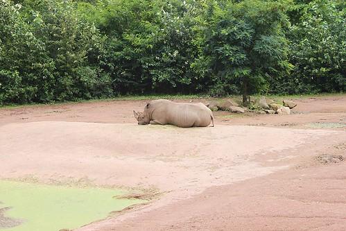 rhino lying on sand