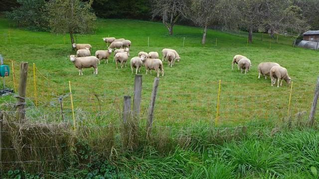 #rasenmäh #sheep grazing