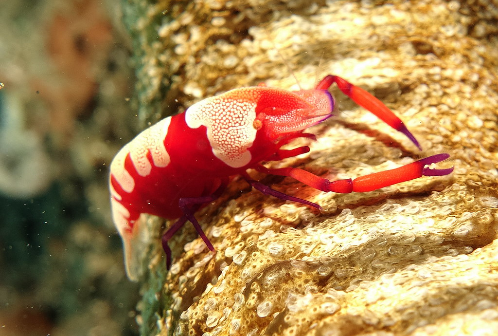 Emperor Shrimp - Tawali - Milne Bay PNG 27th September 2015