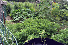 2015-07-18 potato patch IMG_2394