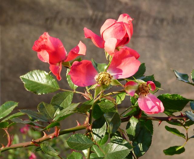 lokakuun ruusu