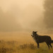 Lost Sheep In The Morning Mist by pogmomadra