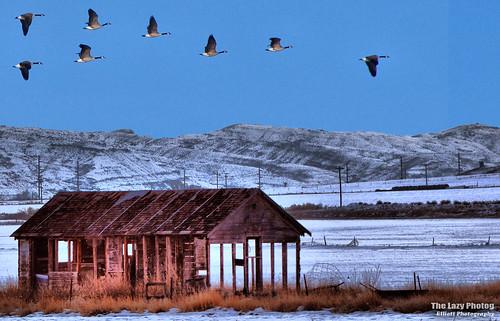 Nov 10 2013 - Geese heading south