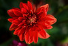 Red Chrysanthemum!
