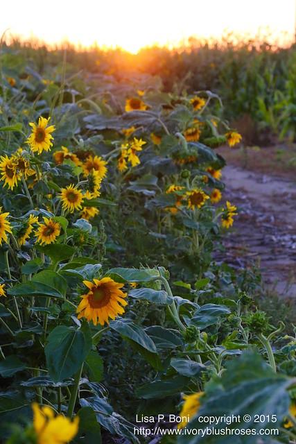 2015.08.19KansasSunflowersAtSunset