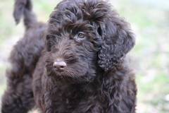 boykin spaniel(0.0), pumi(0.0), poodle crossbreed(0.0), irish water spaniel(0.0), field spaniel(0.0), cockapoo(0.0), goldendoodle(0.0), cavapoo(0.0), toy poodle(1.0), miniature poodle(1.0), standard poodle(1.0), dog breed(1.0), animal(1.0), dog(1.0), schnoodle(1.0), pet(1.0), lagotto romagnolo(1.0), bolonka(1.0), dandie dinmont terrier(1.0), portuguese water dog(1.0), spanish water dog(1.0), barbet(1.0), american water spaniel(1.0), carnivoran(1.0),