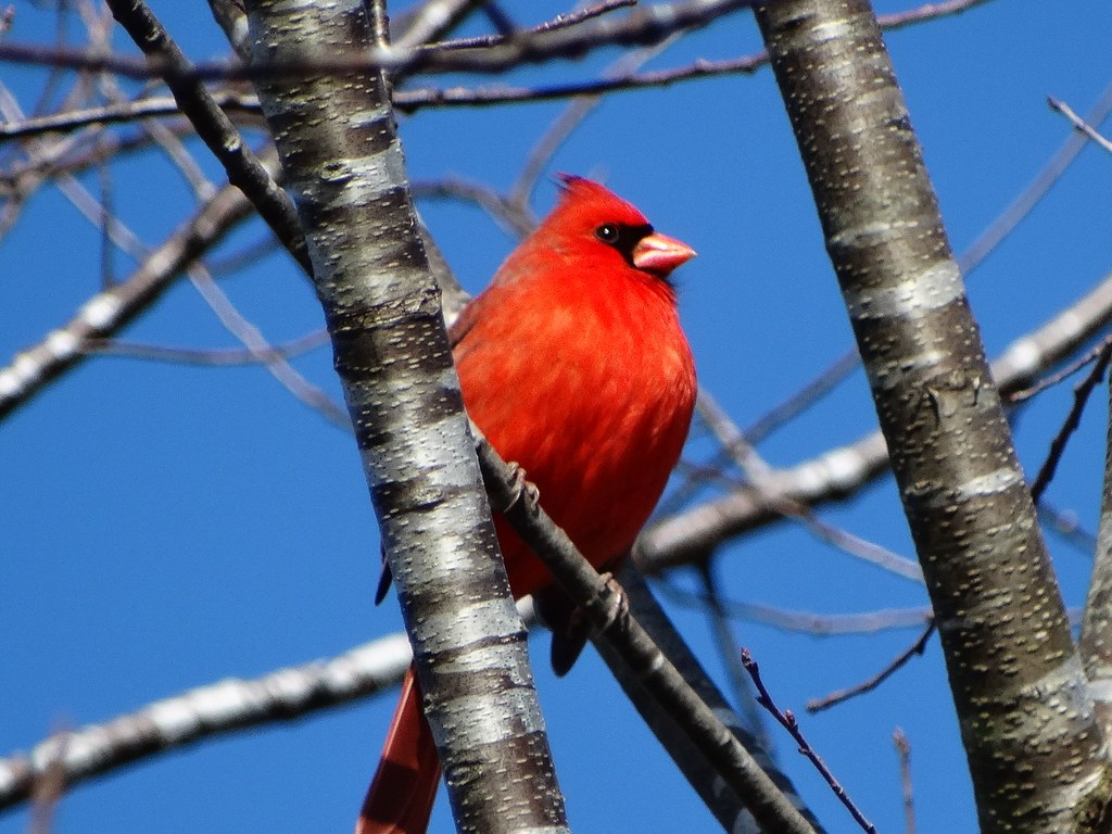 Northern Cardinal with blue sky