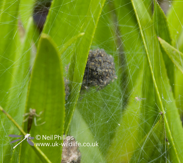Fen raft spiderNursery web and spiderlings