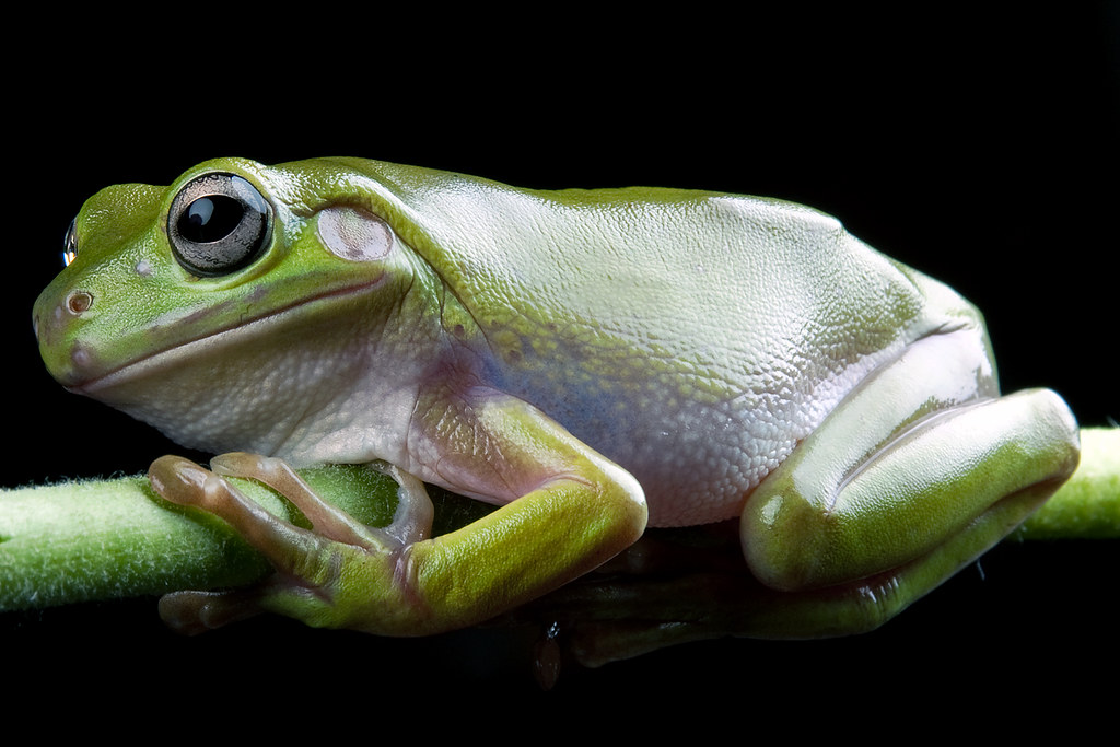 White's Tree Frog, CaptiveLight, Bournemouth, UK