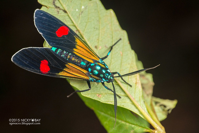 Moth (Belemnia inaurata) - DSC_8453