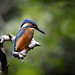 Kingfisher. by spw6156 - Over 4,605,847 Views