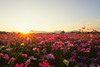 Photo:Cosmos in the sunset light. コスモス夕景.秋桜夕景. By T.Kiya