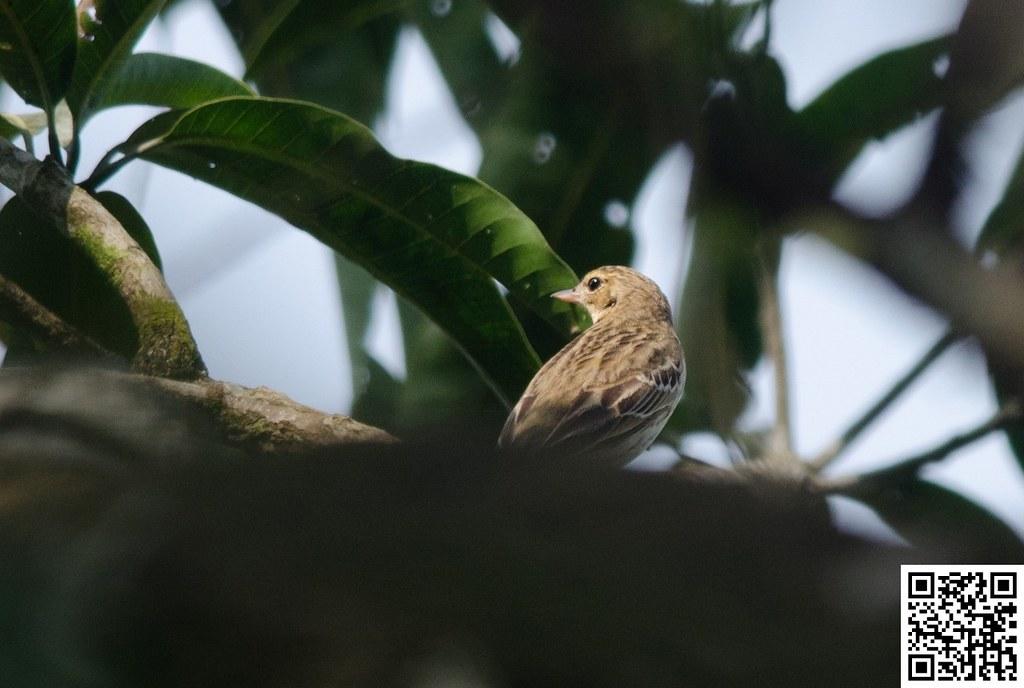 Tree Pipit [Bisbita Arbóreo]