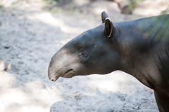 Tapir Closeup Profile