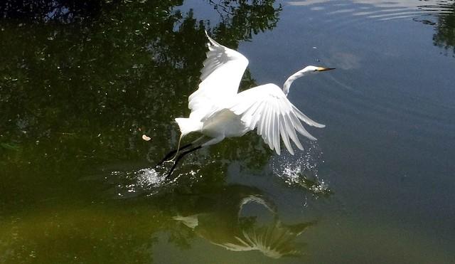 Egret: GREAT WHITE  #20