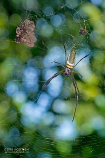 Golden orb weaver spider (Trichonephila sp.) - DSC_2847