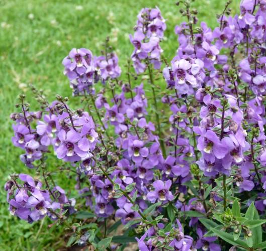 Angelonia angustifolia 21295547565_cba1b494a8_o