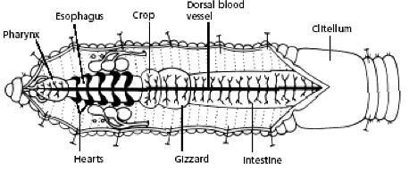 Blank worm diagram diy wiring diagrams earthworm dissection day two directions for procedure rh centennialsd instructure com worm diagram labeled simple worm ccuart Choice Image
