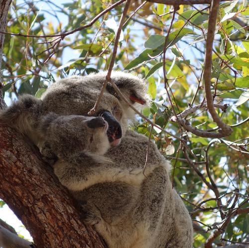 Wilde Koalas am Forts Walk