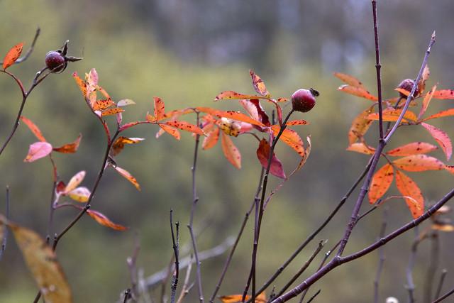 IMG_7011 Swamp Rose