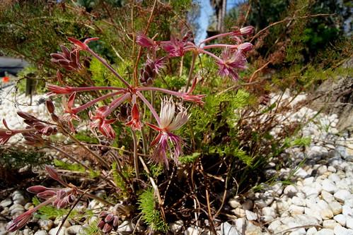 Pelargonium bowkeri