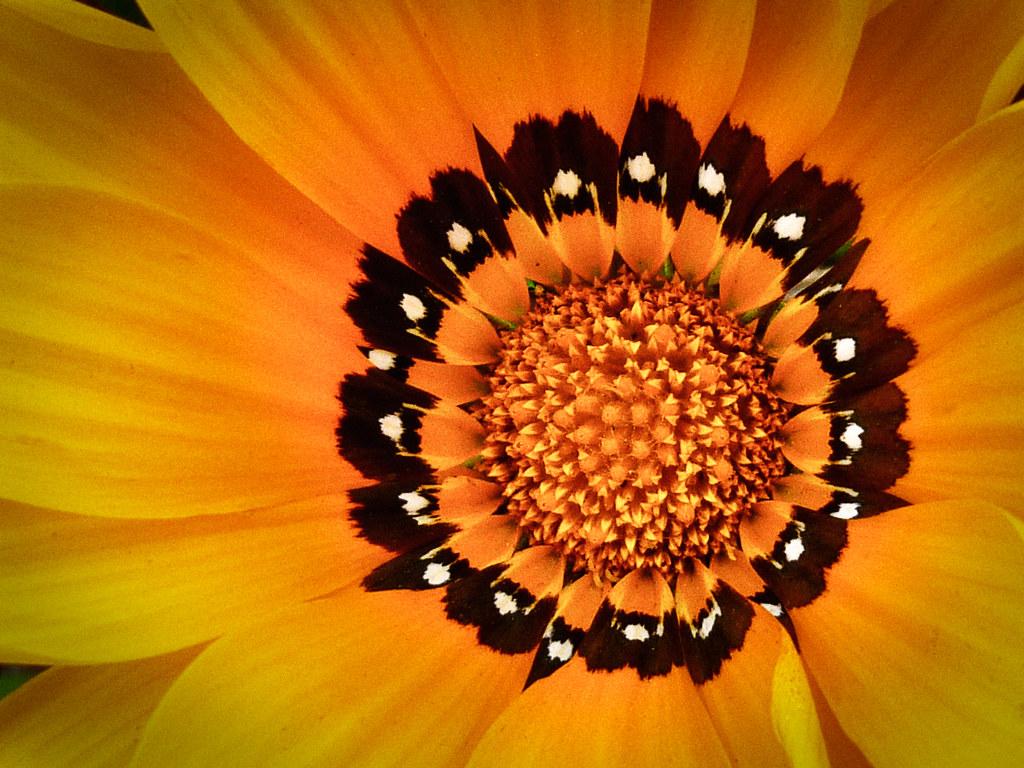 Roadside Wildflower (Gazania)
