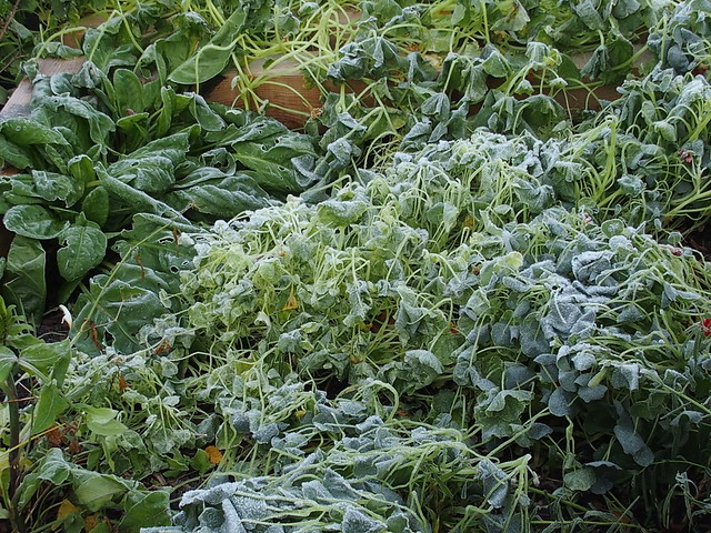Frosted nasturtiums and perennial veg